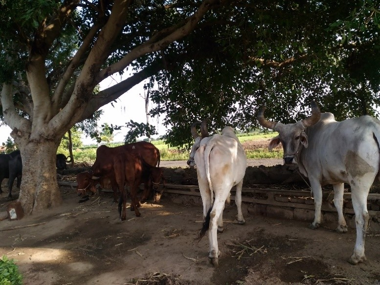 Livestock of a farmer in Gujarat